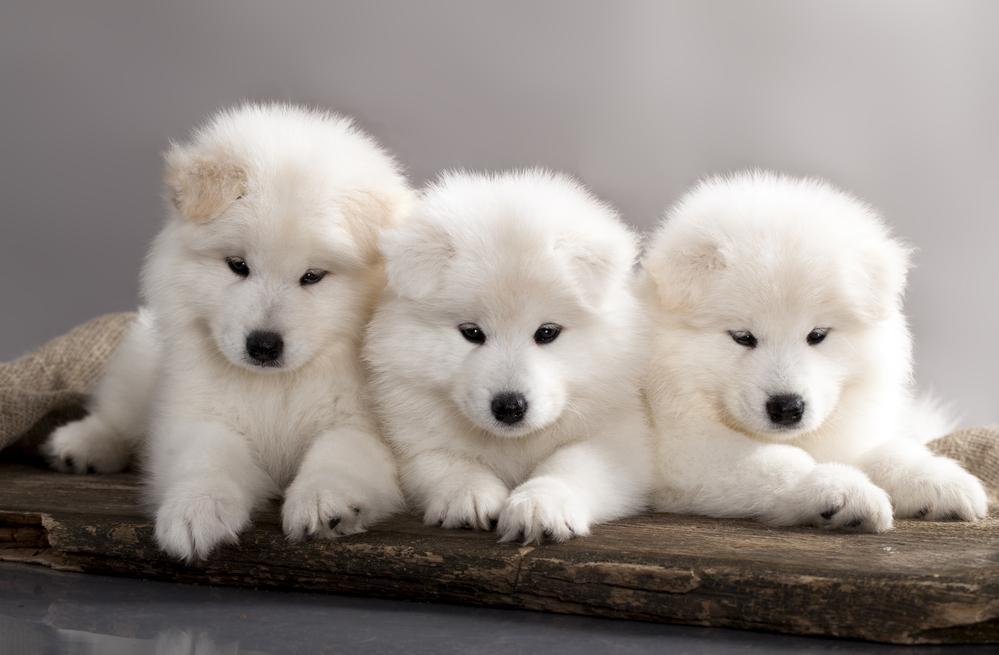 Neke od njih ćete sigutno poželeti u svom domu: Pet rasa pasa imaju najslađe štence