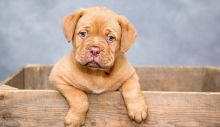 dogue-de-bordeaux-1047521_1280.jpg