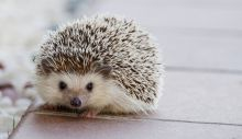 1619189268_hedgehog-1215140_1920.jpg