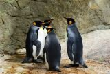 1597839926_king-penguin-384252_1280.jpg