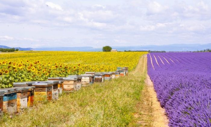 depositphotos_70483591-stock-photo-bee-hives-on-lavender-fields.jpg
