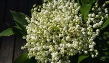 1617884045_lily-of-the-valley-2188398_640.jpg