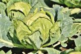 1616069820_white-cabbage-4396795_1280.jpg